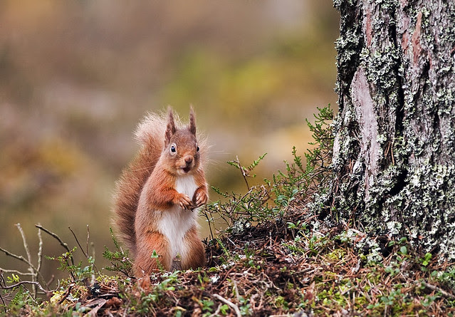 Red Squirrel on look out