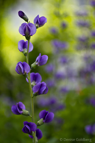 False blue indigo, focused and shadowed