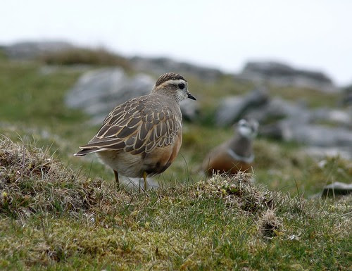 12422 - Dotterel at Cefn Cadlan
