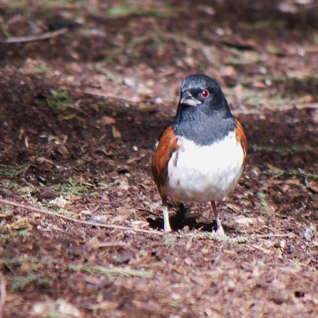 Ed Gaillard: birds &emdash; Eastern Towhee, International Paper Plaza