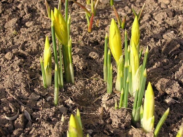 Iris danfordiae