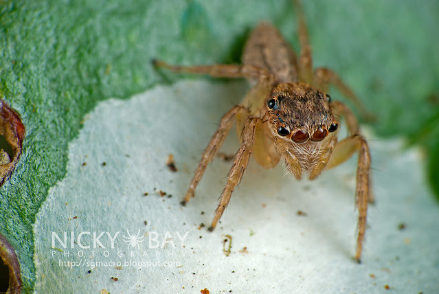 Jumping Spider (Salticidae) - DSC_5948