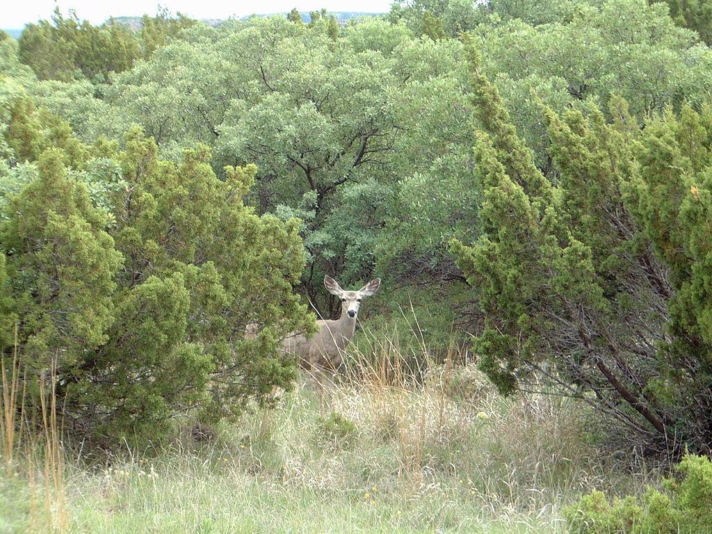 http://upload.wikimedia.org/wikipedia/commons/thumb/0/01/Caprock_Canyons_Mule_Deer_2005.jpg/1024px-Caprock_Canyons_Mule_Deer_2005.jpg