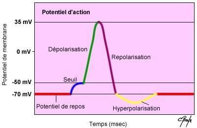 Les différentes étapes du potentiel d'action
