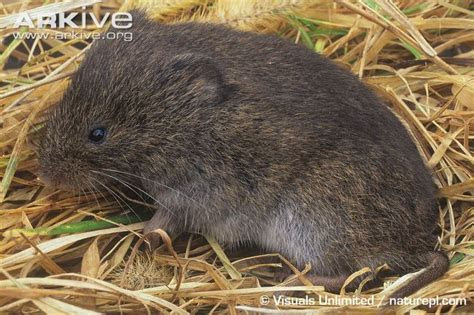 Meadow vole videos, photos and facts   Microtus pennsylvanicus   Arkive