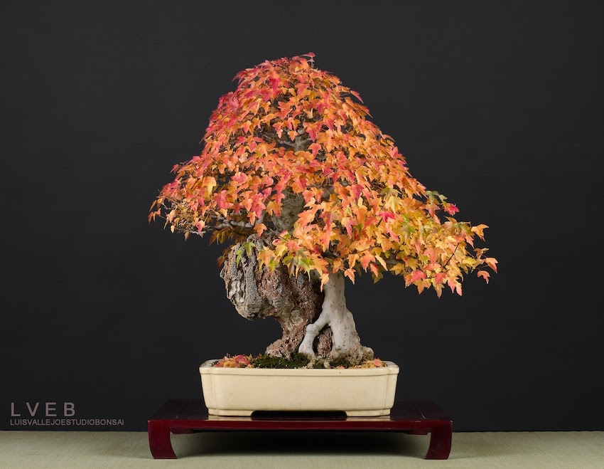 Acer Buergerianum Bonsai