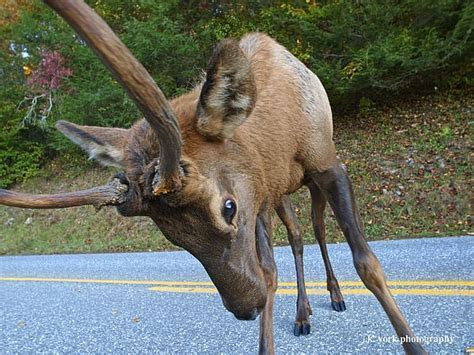 VIDEO   Elk Spars with Photographer in the Smoky Mountains