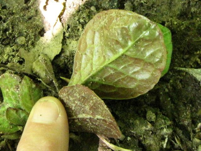 lesser pyrola leaves