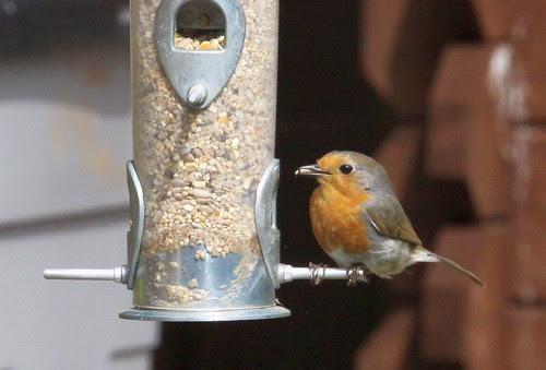 Robin on seed feeder