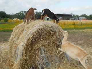 New 2012 Goat Does Pippy and Rigby