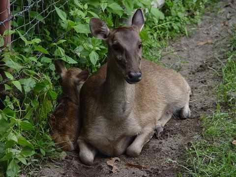 Philippine Deer