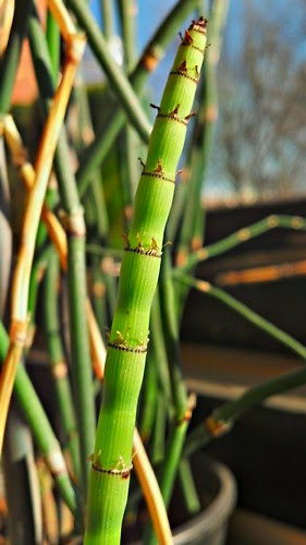 02-13-2013 Equisetum by pdecell