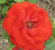 Rose Ruth Leuwerick