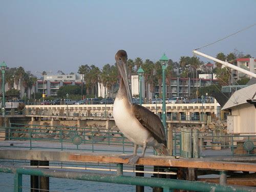 2008-12-02 Birds at Redondo Beach Fishermens Wharf