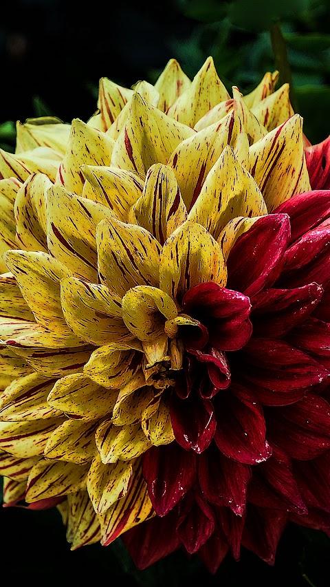 خلفية وردة صفراء وحمراء بدقة عالية hd