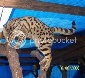 F1 Savannanh cat - Ivy