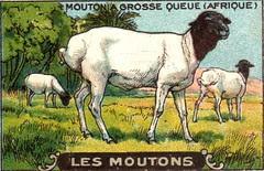 mouton 5