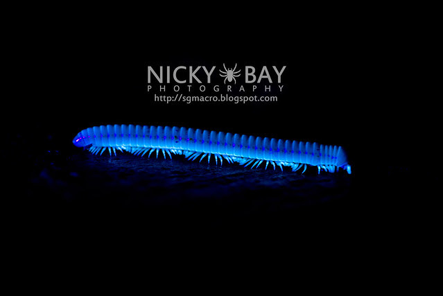 Millipede (Diplopoda) exhibiting UltraViolet Fluorescence - DSC_6194