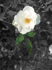 rose,03 octobre 2005