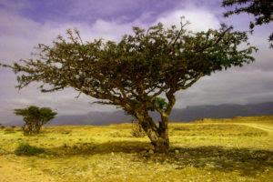 frankincense-essential-oil-boswellia-frereana-tree
