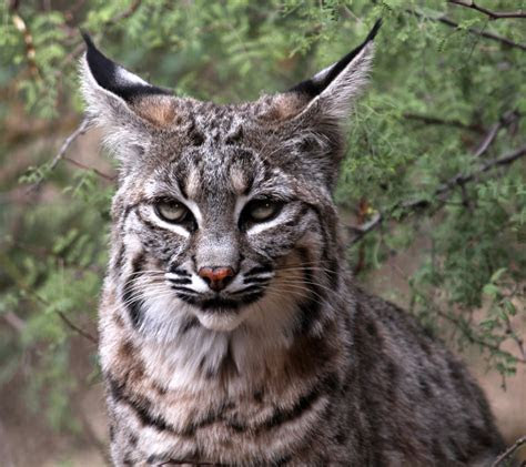 Bobcats Removal   Virginia Professional Wildlife Removal Services