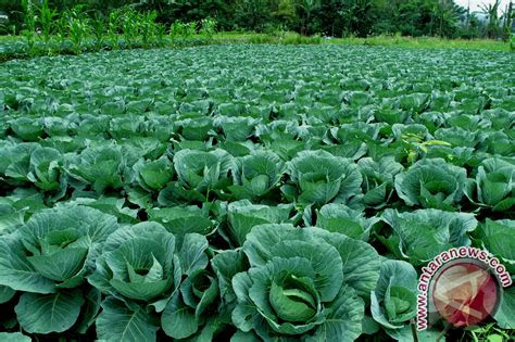 petani padi beralih tanaman sayuran antara news bengkulu