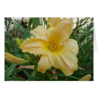 Stella D Oro Yellow Lily Blank Inside Greeting Car
