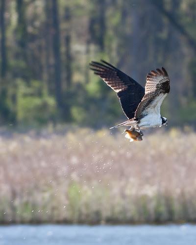 Osprey at Dyke Marsh (01)