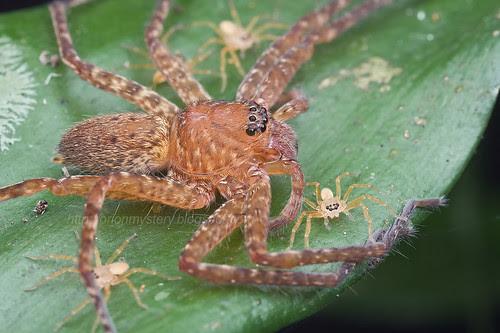 huntsman spider with spiderlings IMG_8696 (2) copy