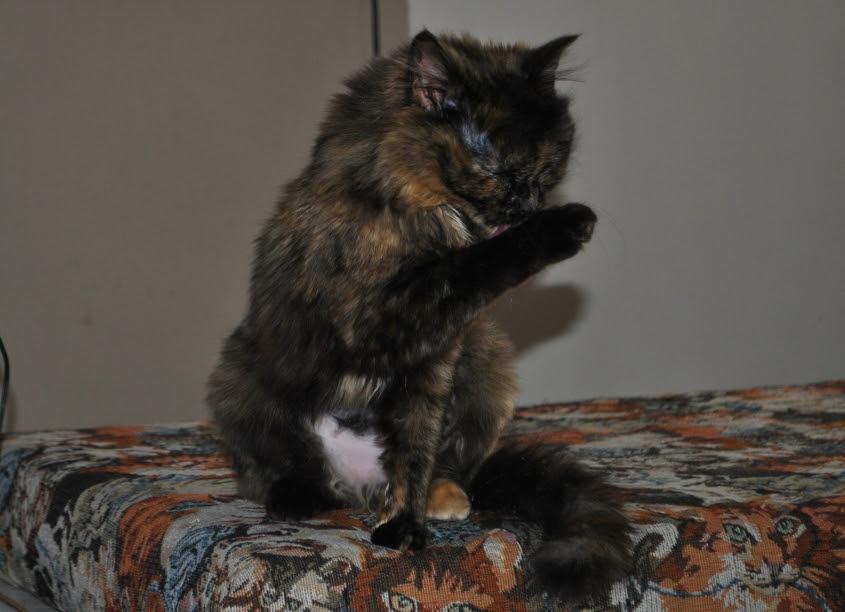 tortie kitten washing front foot