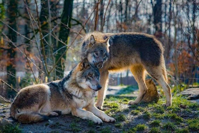 Las diferencias entre perros y lobos