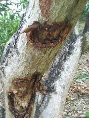 受傷的芒果樹01