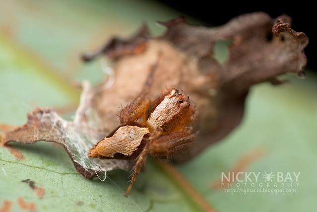 Lynx Spider (Hamataliwa sp.) - DSC_3288