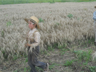Again, Harvesting Wheat