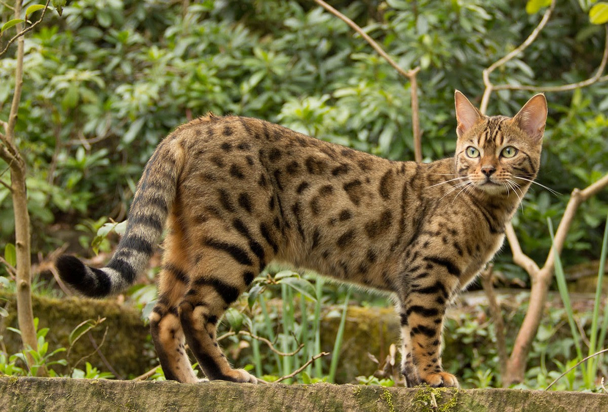 catbreeds12 most beautiful breed of cats