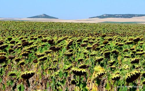 Girasoles en Castilla
