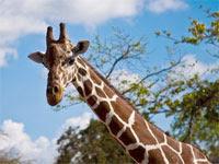 Calauit Island Giraffe, Philippines