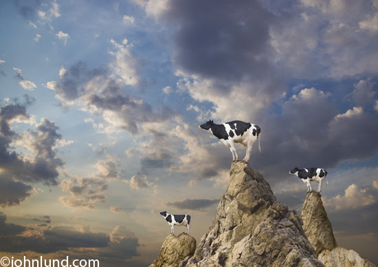 Funny picture of three Holstein cows standing on mountain peaks that they climb with the agility of mountain goats to watch the sunrise.