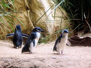 Little Penguin or Fairy Penguin (Eudyptula min...