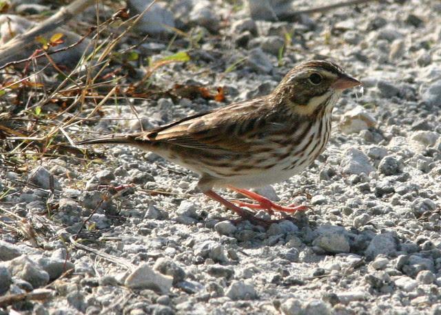 Savannah Sparrow-2 20081107