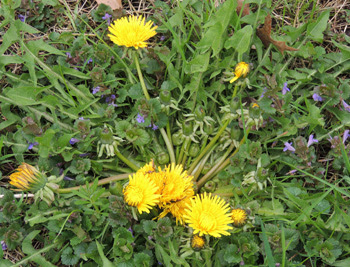 How To Grow Dandelion Plants Sun Daisies Weeds By The Gardeners