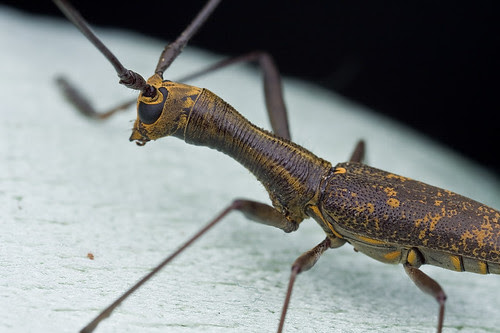 Long necked longhorn beetle from Danum Valley IMG_9349 copy