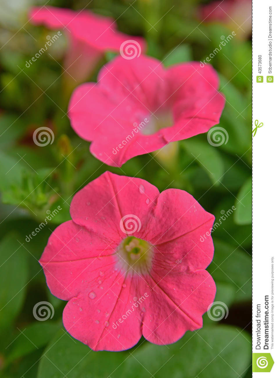 pink petunia wide trumpet shaped flowers branching foliage hairy popular as hanging plant pot 43573680