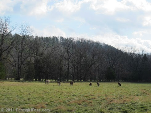Sunday morning in the front field 2 - FarmgirlFare.com