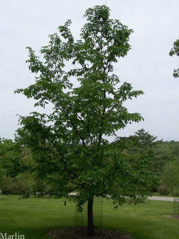 Corkbark Elm Tree Corkbark Elm at The Morton Arboretum is 13 years old.