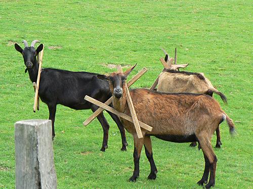 chèvres à SAnvigne.jpg