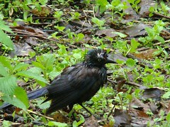 Grackle has a bad day