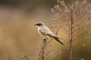 Say's Phoebe (Sayornis saya), California, Unit...