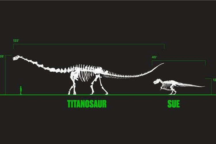 Perbandingan fosil Patagotian mayorum dengan Tyrannosaurus rex