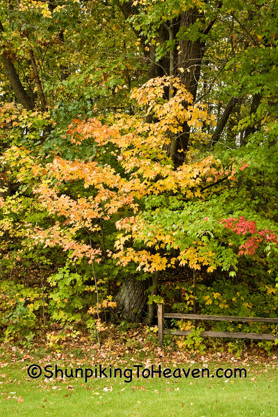 Autumn Maple Tree, Sauk County, Wisconsin
